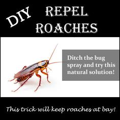 Got roaches? Your not alone try this all natural diy technique to repel roaches.