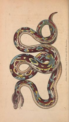 v.2 - The naturalist's miscellany, or Coloured figures of natural objects - Great Boa