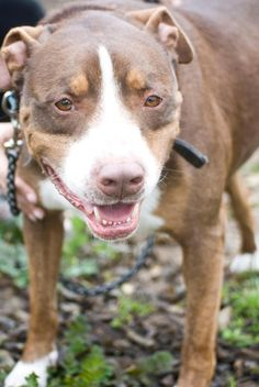 Mouton is an adoptable Pit Bull Terrier searching for a forever family near Fresno, CA. Use Petfinder to find adoptable pets in your area.