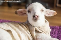 Clarita ya está lista para dormir y soñar con un mundo en donde los animales no sean tratados como comida ni como objetos sino como seres maravillosos y sensibles que merecen vivir sus vidas en paz