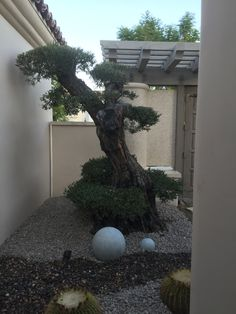 Palm Desert. At Olive a Dream Trees we take ancient #olive trees and turn them into living sculptures. A Sculpted olive tree looks like a giant #bonsai or #Macro bonsai. They are also called #Arbor sculptures. Japanese garden. These magnificent trees all come from #California. Check out our web site at oliveadreamtrees.com.