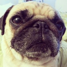 This morning I woke up overheated with a hot pug under the covers & smushed against my belly. I scooted away & a few minutes later I see a Rosy-shaped lump stand up & with an annoyed grunt she squished back against my belly. This is the face of obsession. (SR)