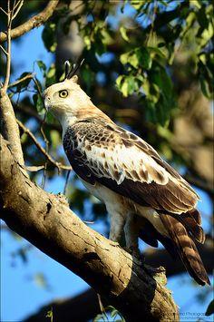 Crested Hawk Eagle, Yala National Park, Sri Lanka (www.secretlanka.com)