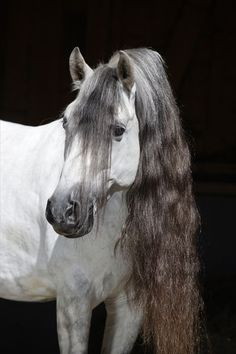 Gorgeous Andalusian