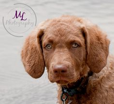 Chesapeake bay retriever puppy :)