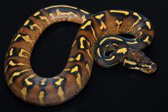 Super Gravel Ball Python