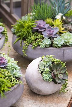 Watch as Juanita creates a beautiful #succulent planter with #echeveria and string-of-pearl.