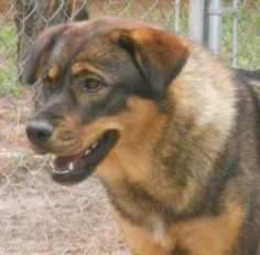 8/2017 Layla is an adoptable German Shepherd Dog searching for a forever family near Columbia, SC. Use Petfinder to find adoptable pets in your area.
