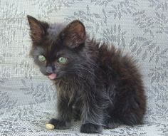 Johnny my Manx as a kitten