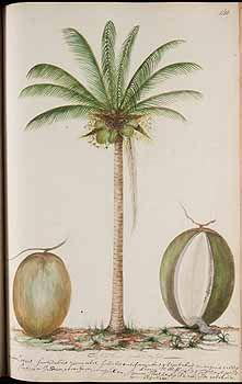 272800 Cocos nucifera L. / Witsen, N., Jager, H. de, Plantae Javanicae pictae, ex Java transmissae anno MDCC, t. 140 (1700)