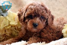 This super adorable Toy Poodle puppy is well socialized and very sweet. She is the all around perfect pup and will win you over with her good looks. Red Poodle Puppy, Tiny Toy Poodle, Toy Poodle Puppies, Dogs And Puppies, Corgi Puppies, Doggies, Poodle Hair, Toy Puppies For Sale, Toy Poodles For Sale