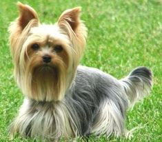 The Popular Pet and Lap Dog: Yorkshire Terrier - Champion Dogs Yorkshire Terriers, Schnauzers, Yorkshire Macho, Yorkies, Cute Puppies, Cute Dogs, Beagle Puppies, Shih Tzu, Yorky Terrier
