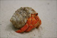 Hermit Crabs: Land Hermit Crab Species