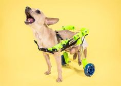 CAP Project launches to bring 3D printed prosthetics to animals, looking for volunteers