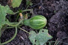 Watermelon, Solar, Home And Garden, Nature, Food, Gardening, Flowers, Vegetable Gardening, Plant