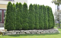 Perfectly spaced arborvitaes make a great natural fence
