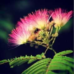 Mimosa's pink flowers and bark are medicinal, and used in Chinese medicine to treat anxiety, stress, depression and insomnia. Its traditional name translates to collective happiness bark || The Chestnut School of Herbal Medicine