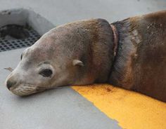 Marine Mammal Center Rescuers successfully capture a sea lion tangled in a plastic packing strap at PIER 39.