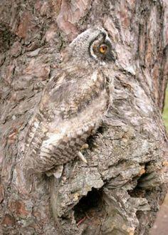 Owl amazing camouflage