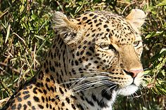 Leopard spotted at Gamewatchers new Lake Nakuru Tented Camp in Kenya