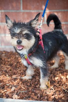 Daphne Yorkshire Terrier Yorkie & Terrier Mix • Young • Female • Small Bill Foundation Beverly Hills, CA   Besides her stately beauty she is adorable, as she loves to snuggle and cuddle with royalty...