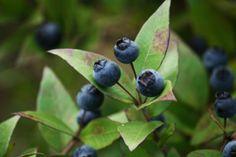 MIRTA bobice - rezervirajte na vrijeme Mirta (Myrtus comunis), mrča, mrčica je, aromatični,