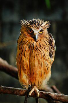 Owl - by Sarol Glider