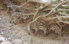 Forestia heeft ook een dierenpark met oa. wilde zwijntjes, op zo'n 25 km afstand van Vakantiehuis Auberge Le Barrage