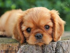 Cavalier King Charles Spaniel #ckcs Puppy Dog #Puppies #Dogs