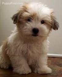 Image result for coton de tulear puppies