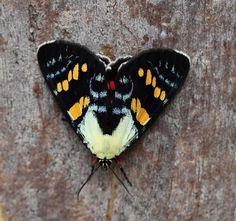 Joseph's Coat Moth (Agarista agricola) - Noctuidae - female | Flickr - Photo Sharing!