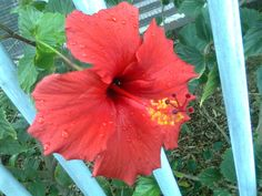 29 Oct 2011, Wynberg : this Hibiscus is trying to get onto the sidewalk