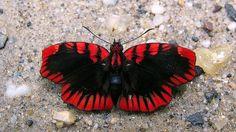 【ヒオドシセセリ】 本種のような赤黒の日輪模様は他では見られないため見間違うことはない。南米に生息。 BOA:http://bit.ly/11n6H3U 写真:Andrew Neild様CC BY-NC-ND 2.0