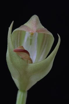 Orchid: Peterostylis curta - Flickr - Photo Sharing!