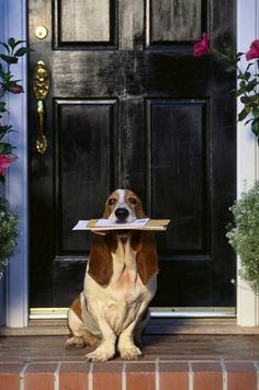 'Ana Rosa,Stand and deliver.' My basset would never fetch EVER! This is an unusual basset! All Dogs, I Love Dogs, Cute Dogs, Dogs And Puppies, Best Dogs, Doggies, Basset Hound, Hound Dog, Basset Dog