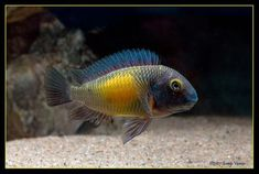 What To Know About Coral Reef Aquariums When shopping for fish, it might be tempting to pick the rare and fancy fish full of colors, and exotic looking shrimp Saltwater Aquarium Fish, Tropical Aquarium, Freshwater Aquarium, Tropical Fish, Fish Aquariums, Lac Tanganyika, Marine Aquarium, African Cichlids, Beautiful Fish