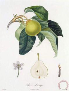 Pierre Antoine Poiteau Pear Art Print