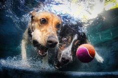 Two dogs chasing up a ball underwater.  Photo: Seth Casteel.   Source: Sydney Morning Herald