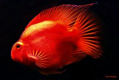 Aquariums and Fish *Blood Parrot Cichlid *Photo by Clarissa Johal