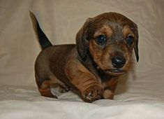"Explore our internet site for even more details on ""dachshund puppies"". It is actually an excellent place for more information. Dachshund Breed, Dachshund Funny, Dachshund Love, Dapple Dachshund, Cream Dachshund, Brown Dachshund, Funny Dogs, Weenie Dogs, Pet Dogs"