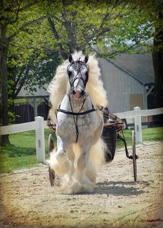 Beautiful big horse covered in fluffy, fairytale-gorgeous feathers and mane and tail. #horse www.annabelchaffe...