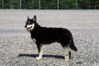 Lapponian Herder dog photo | Lapponian Herder pictures | Animal Photography Stock Photos | Image ...