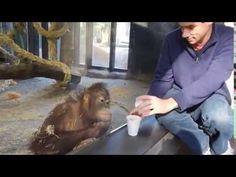 Orangutan reacts to a trick