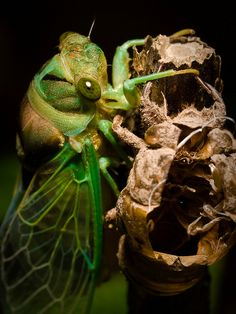 CICADA and shed skin   Cicada by Lopshire on Flickr. Cicada  his skin.