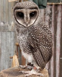 Lesser Sooty Owl found in Europe...