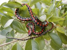 Brazil, Guanabara spotted night snake, Siphlophis pulcher