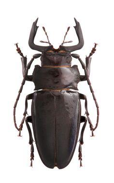 Nothophysis orcipata