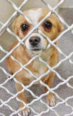 transferred to Agoura shelter --- Pretty GINGER is so sad and confused after being surrendered to the shelter and this 3 year old beauty needs help. She is already spayed and ready to go home today. Please SHARE, a FOSTER would save her sweet life. Thanks! #A4793212 My name is Ginger and I'm an approximately 3 year old female chihuahua sh. https://www.facebook.com/171850219654287/photos/pb.171850219654287.-2207520000.1422050557./361403980698909/?type=3&theater