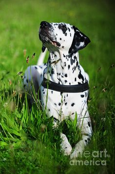 Heads Up. Kokkie. Dalmation Dog by Jenny Rainbow #DalmationDog #Dog #Dalmation #Breed #Spring #SpringTime #Animal #BeautifulDog #Netherlands #Holland #Dalmatian #DalmatianDog #Action  #FineArtPrints