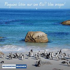 Pinguine schwimmen im Meer, sitzen auf Steinen oder liegen am Strand. 🐧 Wo Sie das erleben können? Nicht weit von Kapstadt entfernt, am Boulders Beach. 😃 Mehr bei uns im Reisebüro!  #ReisebüroWagner #Werne #BouldersBeach Hotels, Strand, Beach, Water, Outdoor, Dominican Republic, Cape Town, Lisbon, Swimming